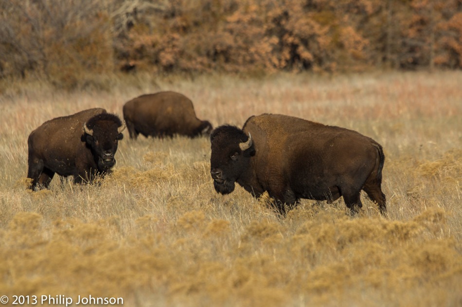 Bison at Wichita Wildlife Refuge