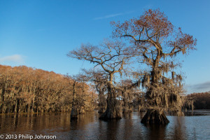 Cypress trees on Caddo lake