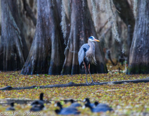 Blue Egret on Caddo Lake