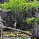 Caddo_Lake_5-26-13-237